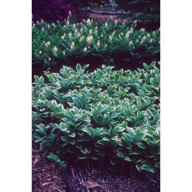 Polygonatum odoratum var. pluriflorum 'Variegatum'