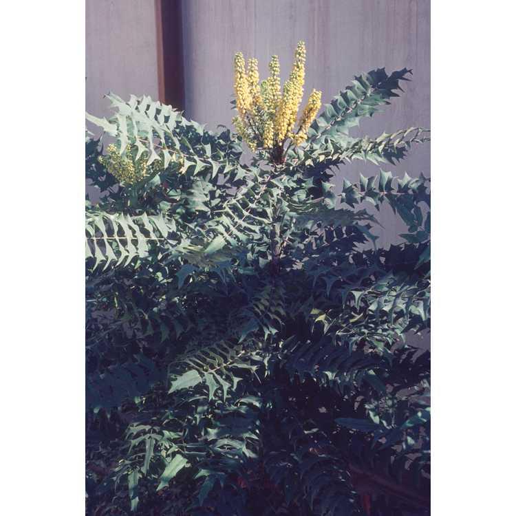 Mahonia lomariifolia - Burmese mahonia