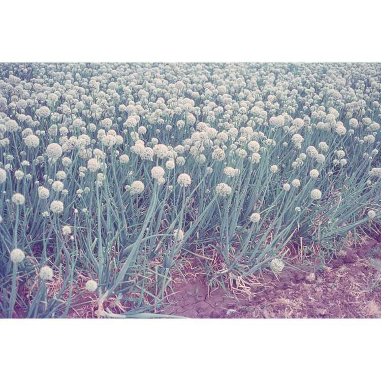 Allium cepa - garden onion