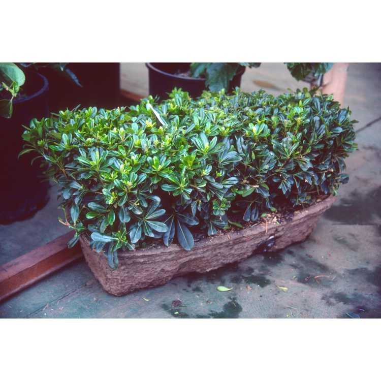 Pittosporum tobira - Japanese pittosporum