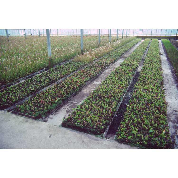Sarracenia - pitcher plant