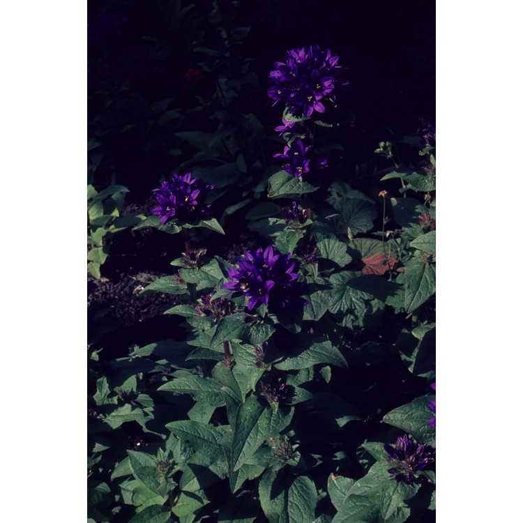 Campanula glomerata - clustered bellflower