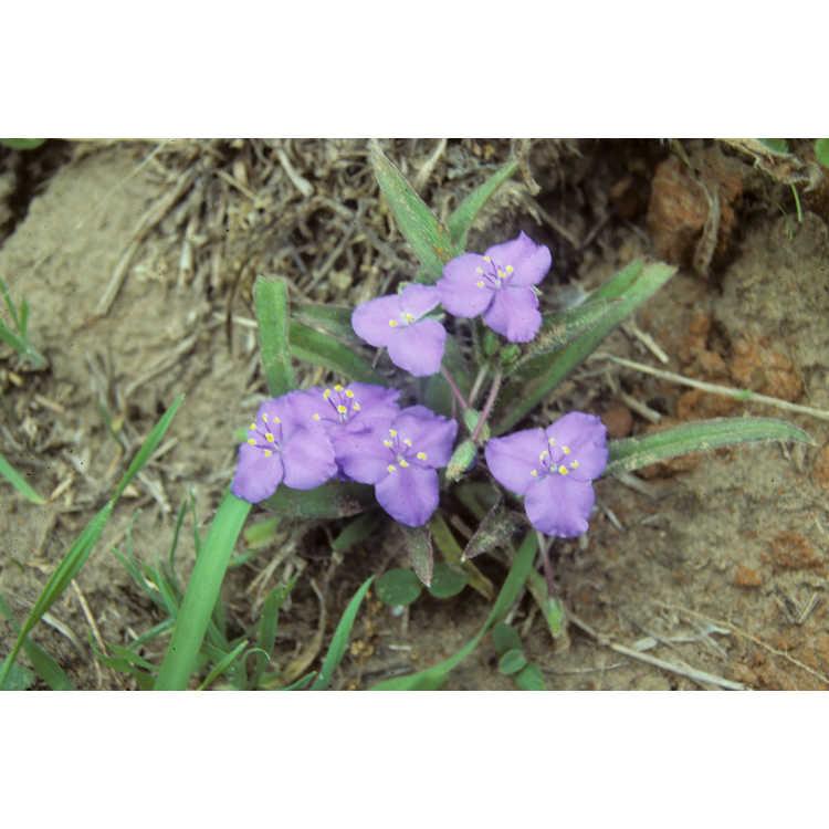 Tradescantia - spiderwort