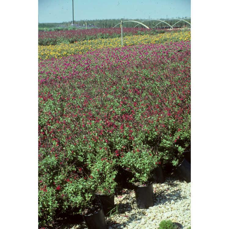 Salvia greggii - autumn sage