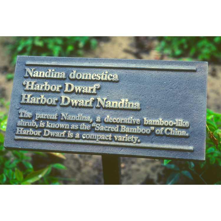 Nandina domestica 'Harbour Dwarf'