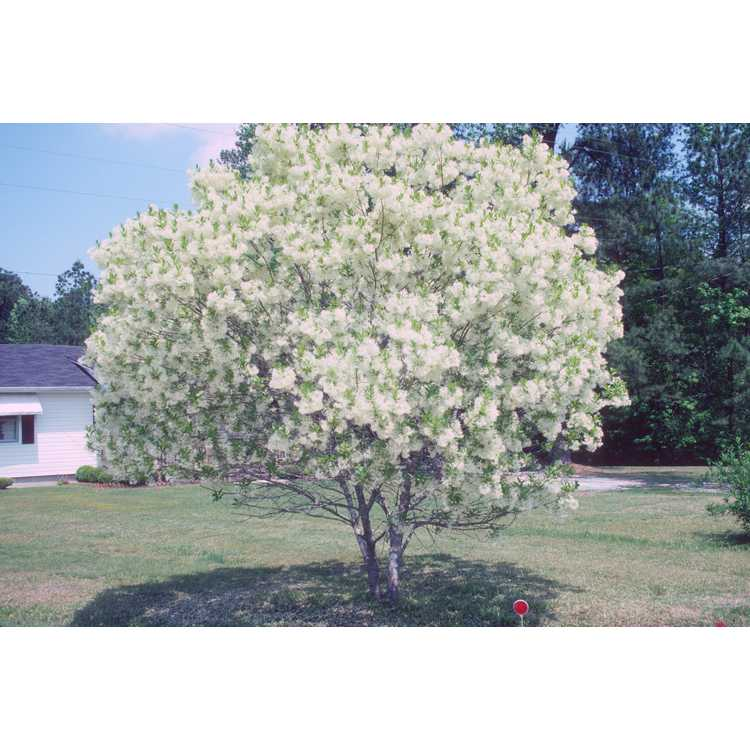 Chionanthus virginicus - fringe tree