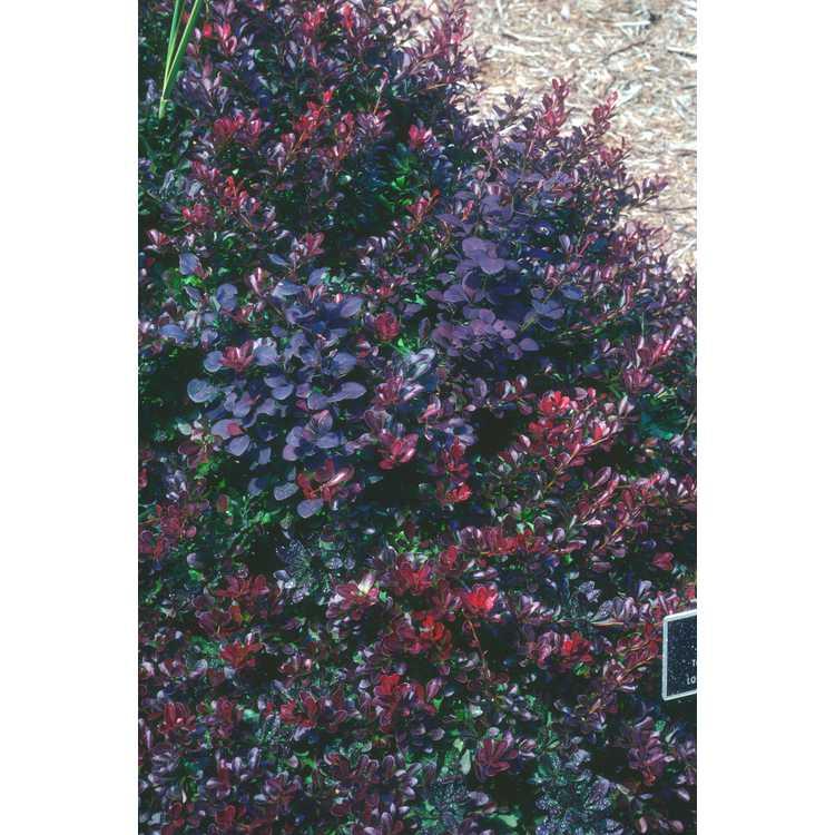 Berberis - barberry