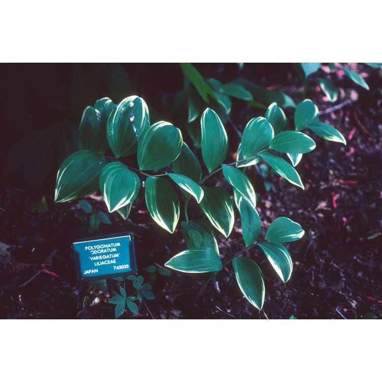 Polygonatum odoratum var. pluriflorum 'Variegatum' - variegated Solomon's seal