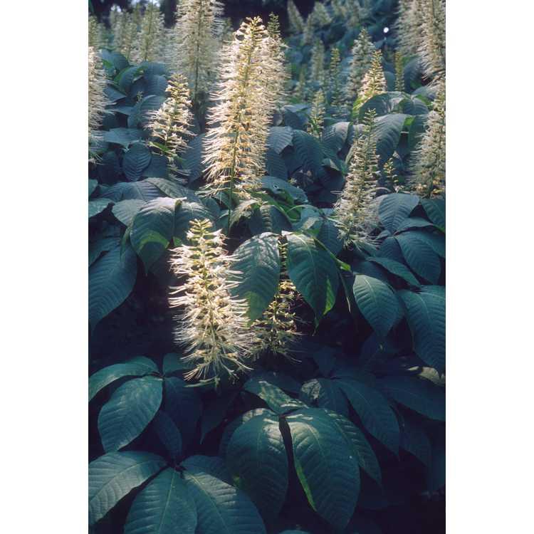 Aesculus parviflora - bottlebrush buckeye