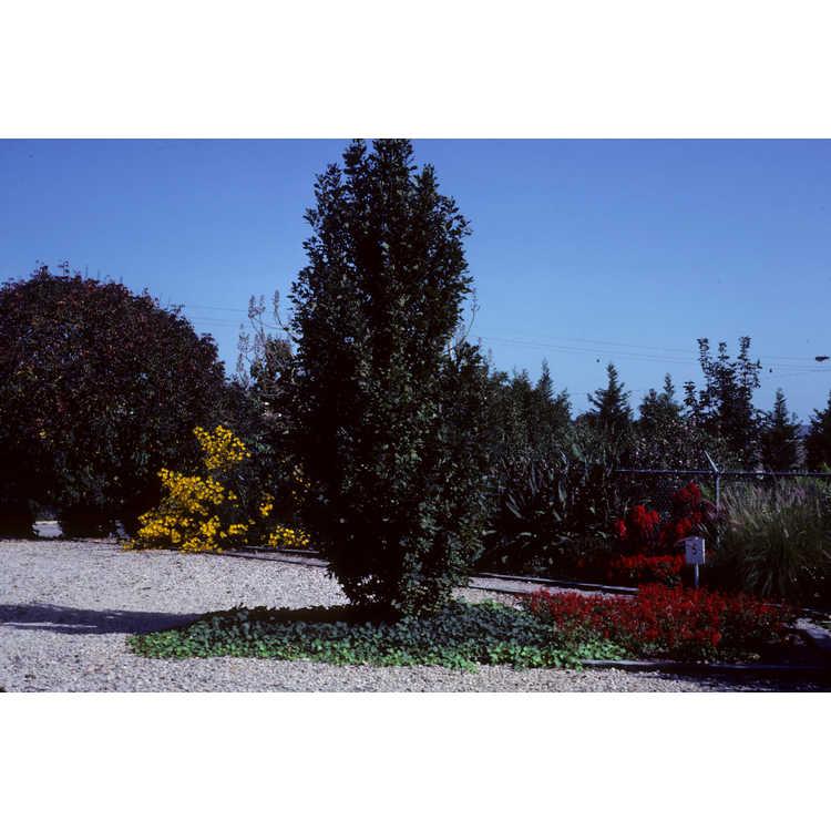 Helianthus - sunflower