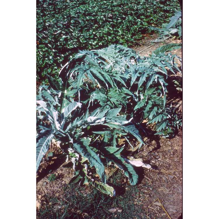 Cynara cardunculus - cardoon