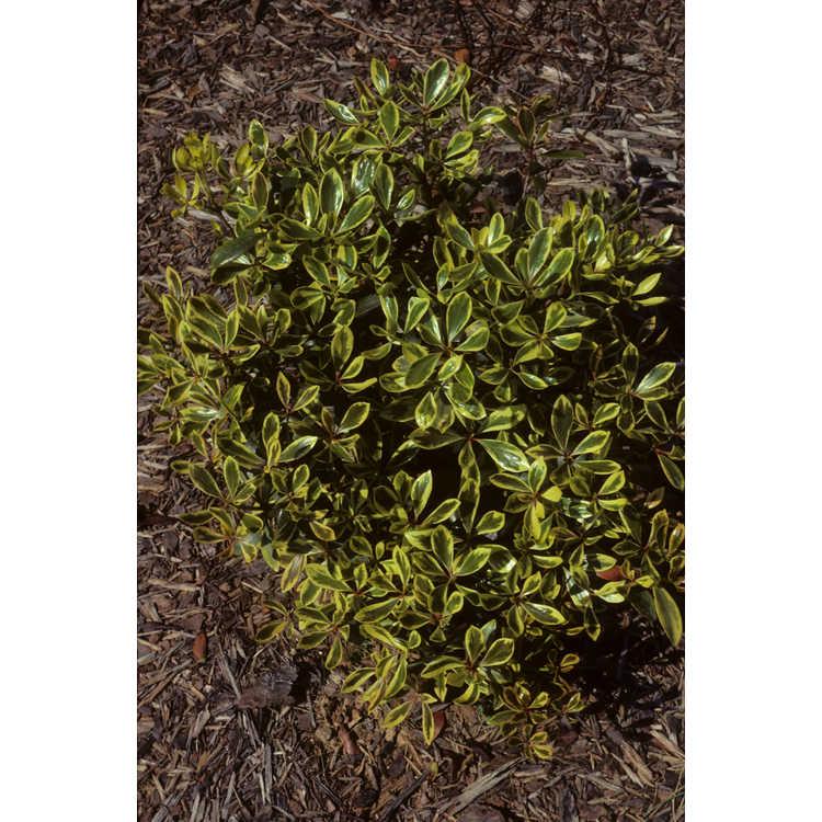 Ternstroemia gymnanthera 'Variegata' - variegated false Japanese cleyera