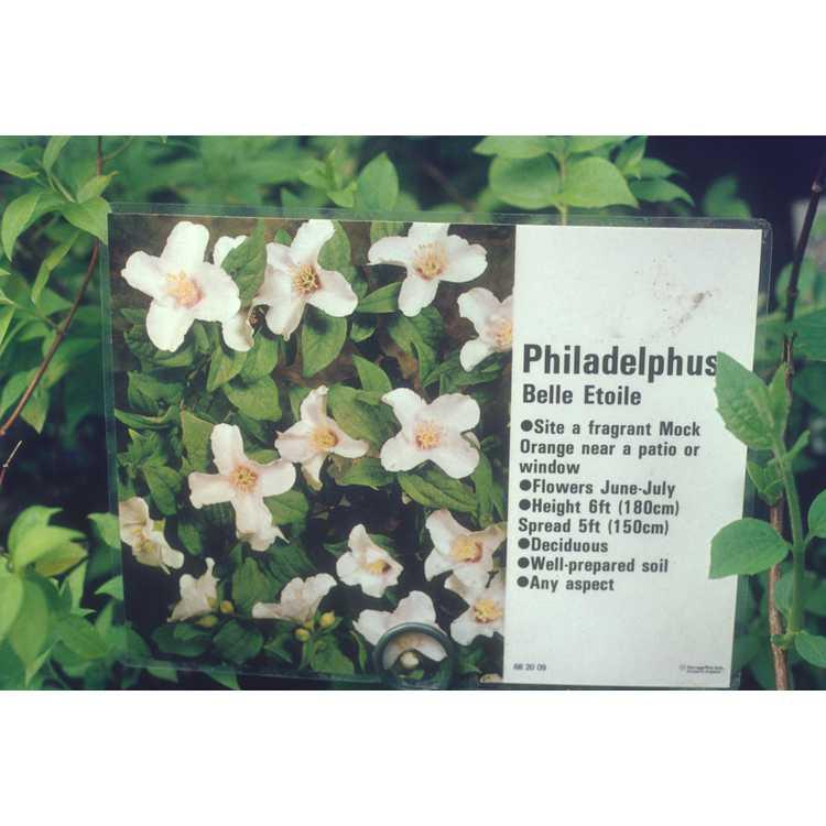 Philadelphus 'Belle Etoile' - beautiful star mock-orange