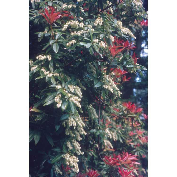 Pieris japonica - Japanese andromeda