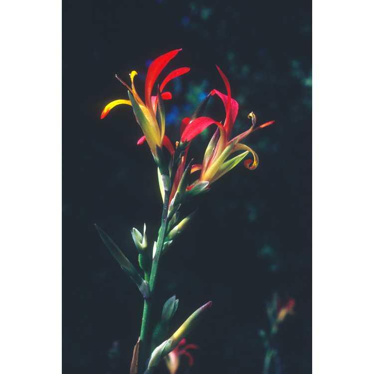 Canna indica - canna-lily