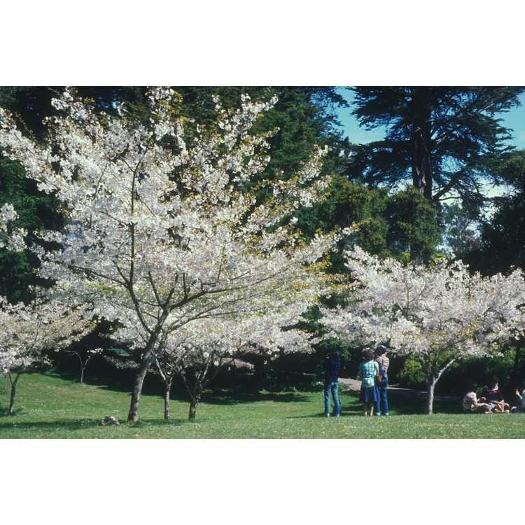Prunus subhirtella 'Jugatsu-zakura'