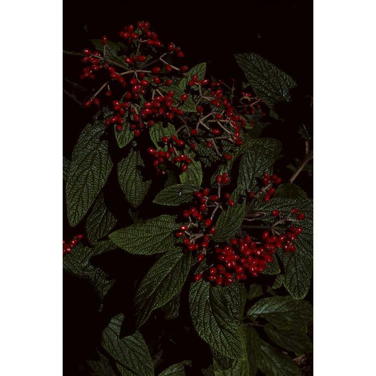Viburnum ×rhytidophylloides 'Alleghany'