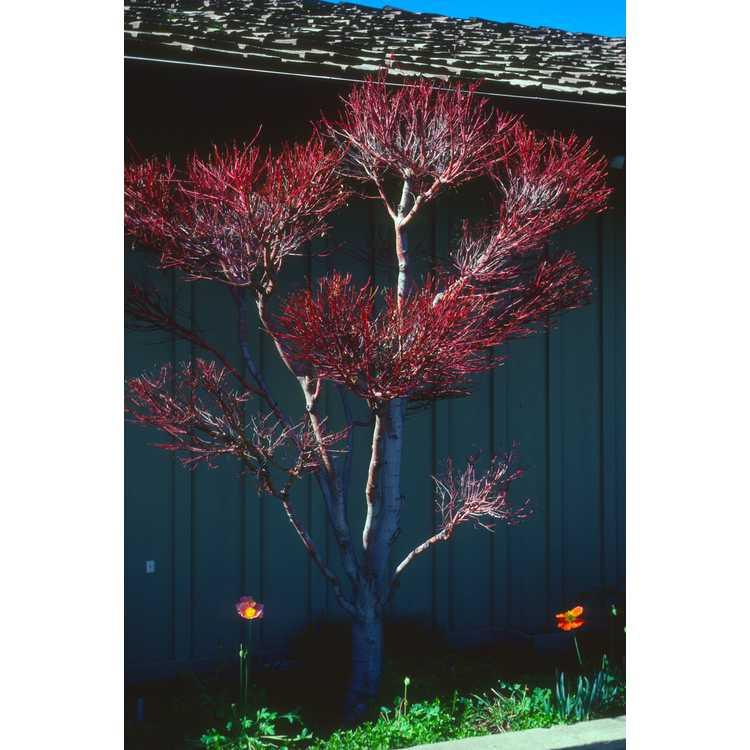 Acer palmatum 'Sango kaku' - coral-bark Japanese maple