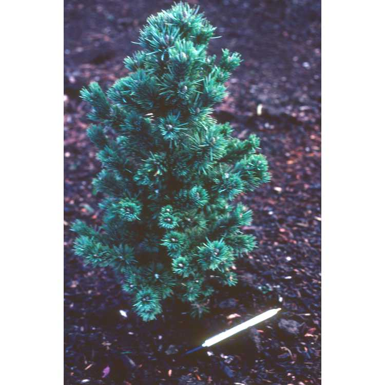 Picea pungens - Colorado blue spruce