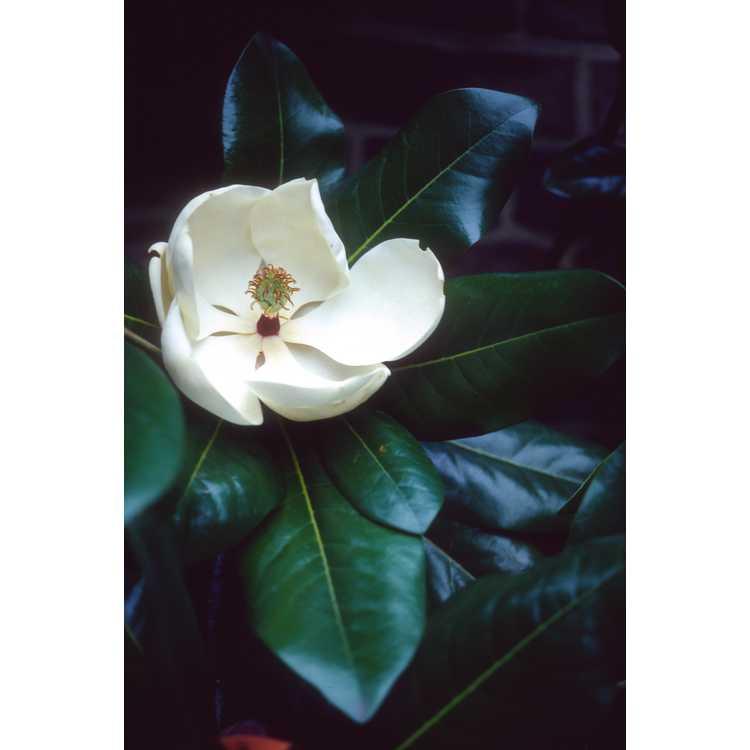 Magnolia 'Maryland'