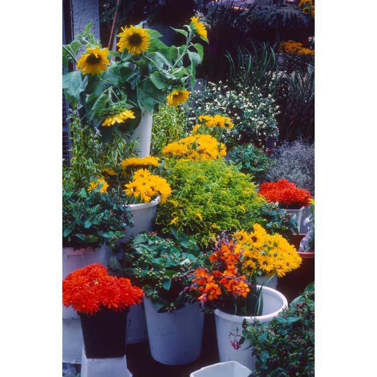 Helianthus annuus - common sunflower