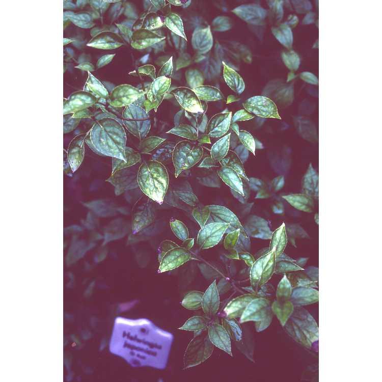 Helwingia japonica - Japanese helwingia
