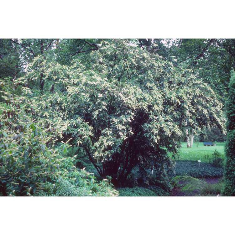 Clethra barbinervis - Japanese pepperbush