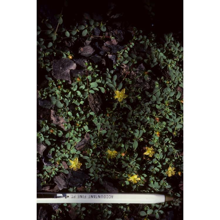 Hypericum - St. John's-wort
