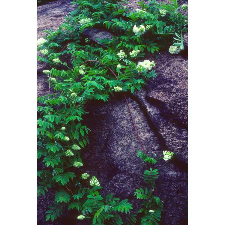 Wisteria frutescens 'Nivea' - white-flowered American wisteria