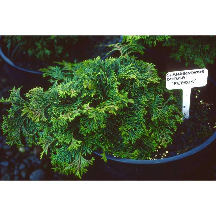 Chamaecyparis obtusa 'Repens' - Hinoki falsecypress