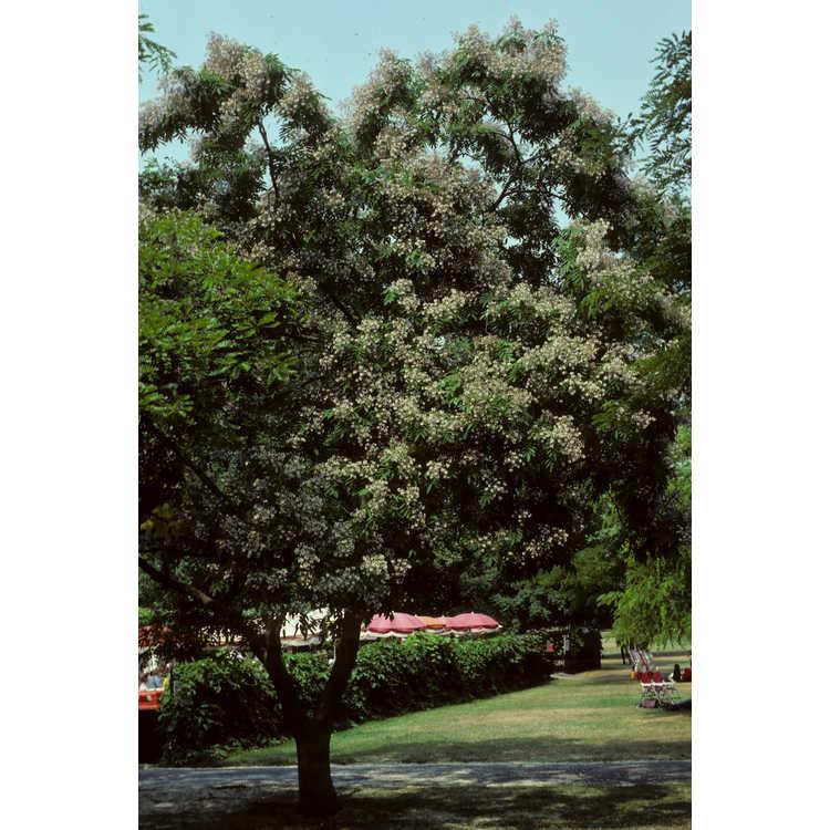 Styphnolobium japonicum - Japanese pagoda tree