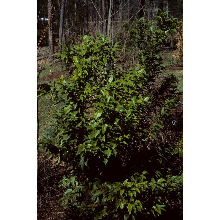 Agarista populifolia - Florida leucothoe