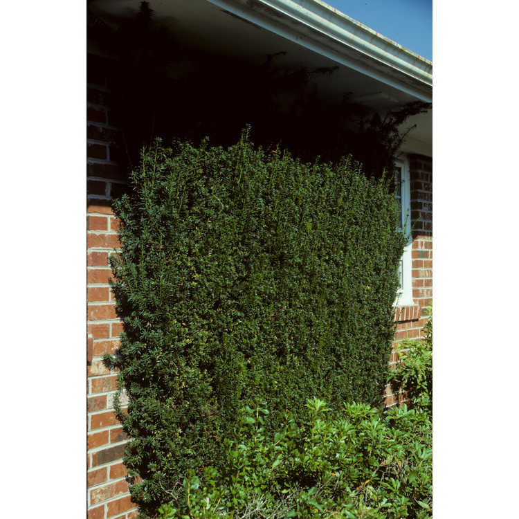 Taxus - yew