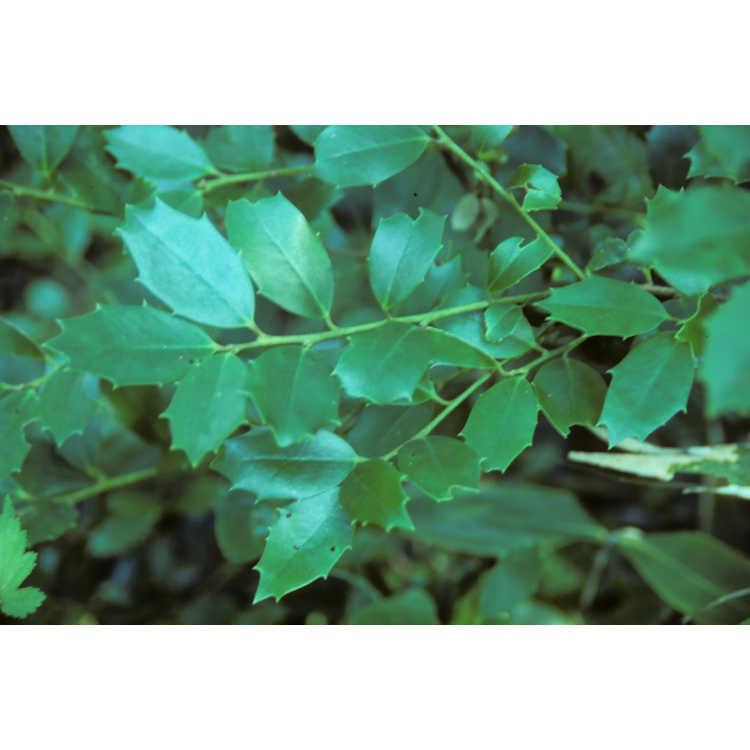 Ilex ×wandoensis