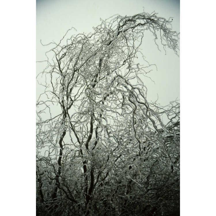 Salix - willow