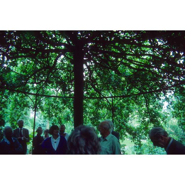 Ulmus glabra 'Camperdownii' - Camperdown weeping elm