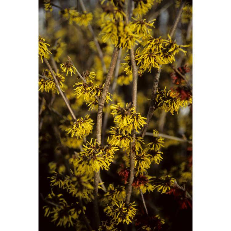 Hamamelis ×intermedia 'Westerstede' - common witchhazel