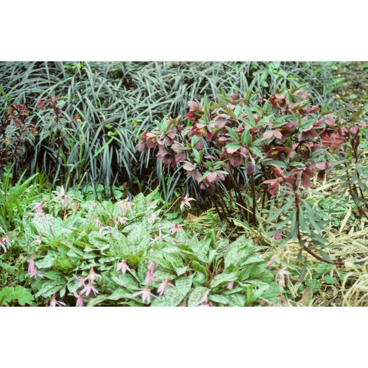Helleborus ×hybridus