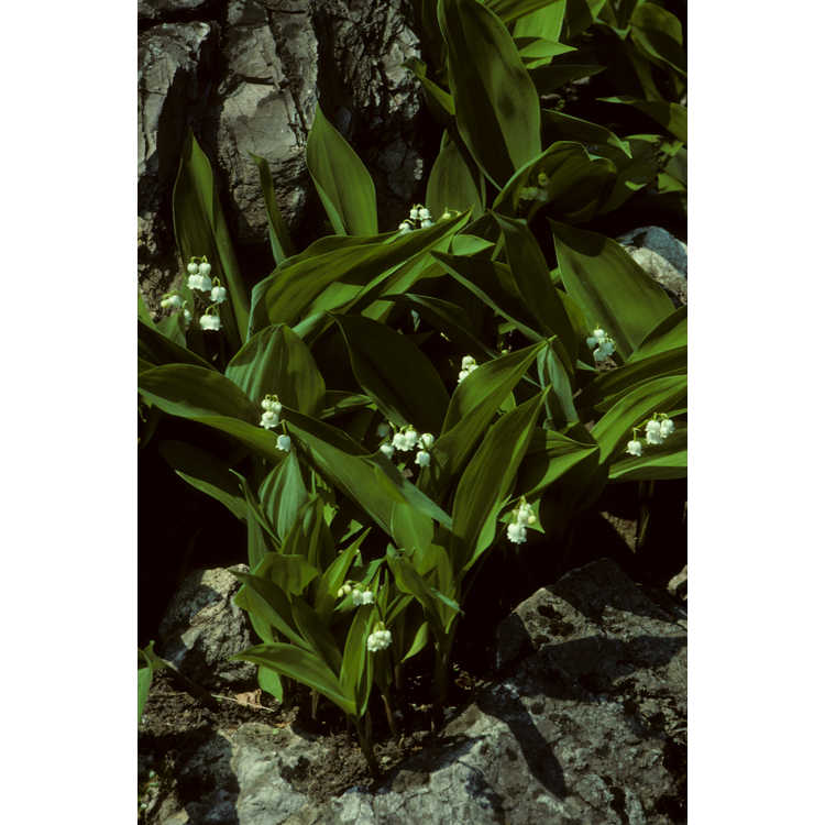 Convallaria majalis - lily of the valley