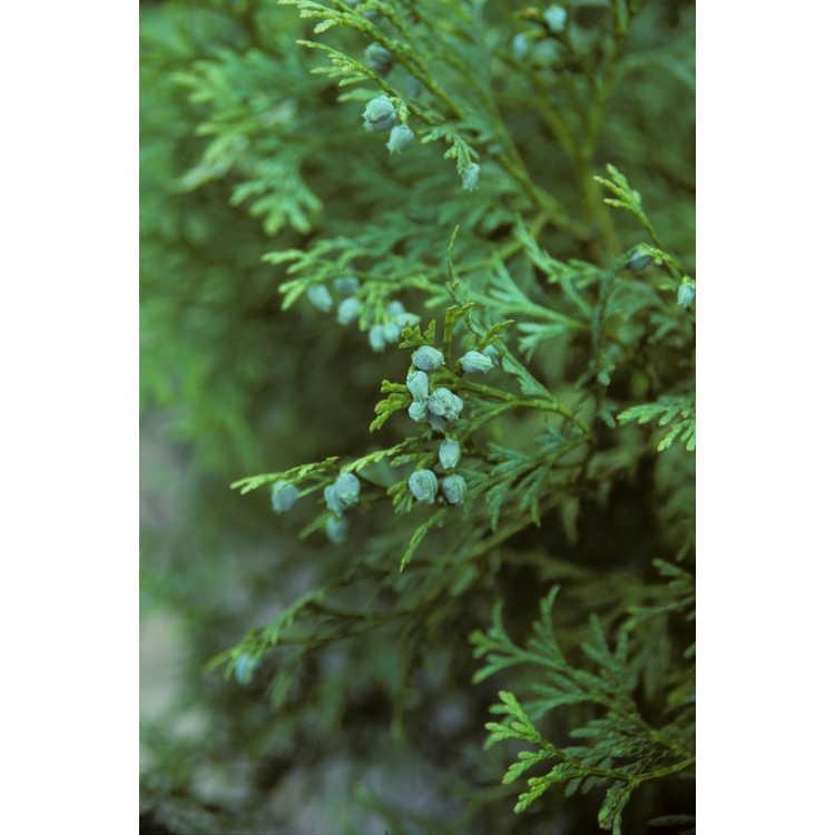 Calocedrus macrolepis var. macrolepis - Chinese incense-cedar