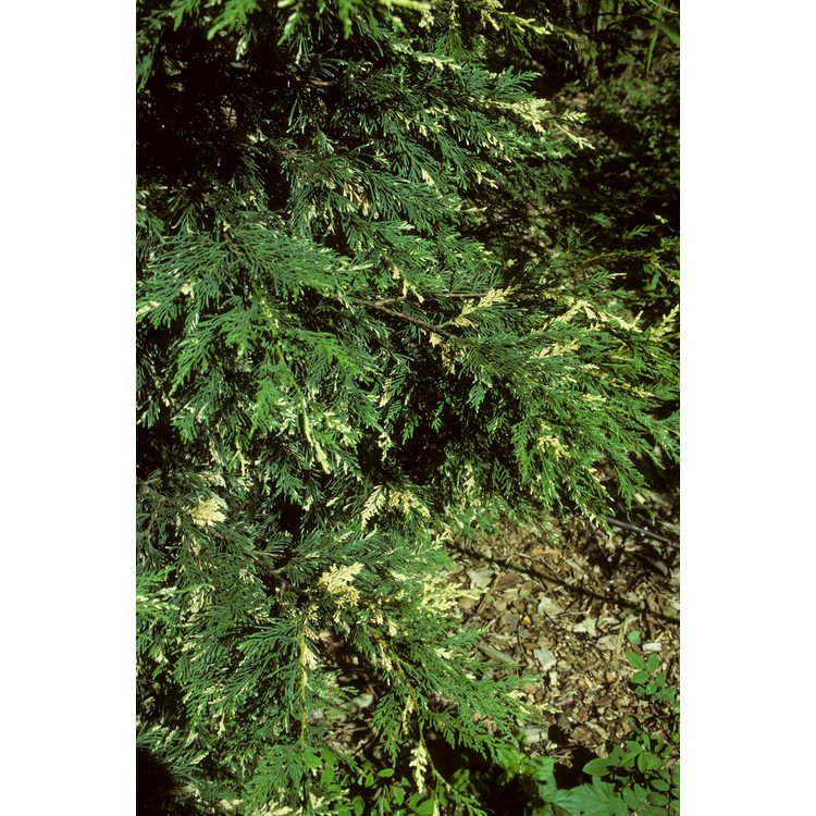 ×Cuprocyparis leylandii 'Harlequin'