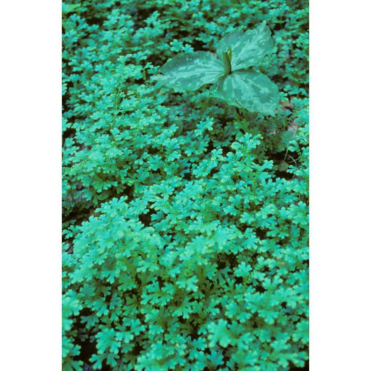Selaginella uncinata - peacock moss