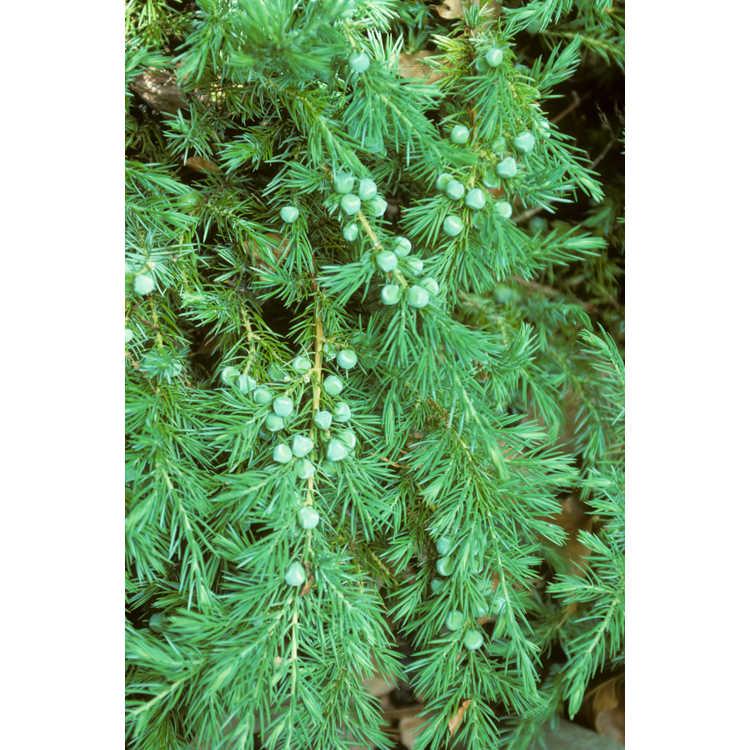 Juniperus conferta - shore juniper