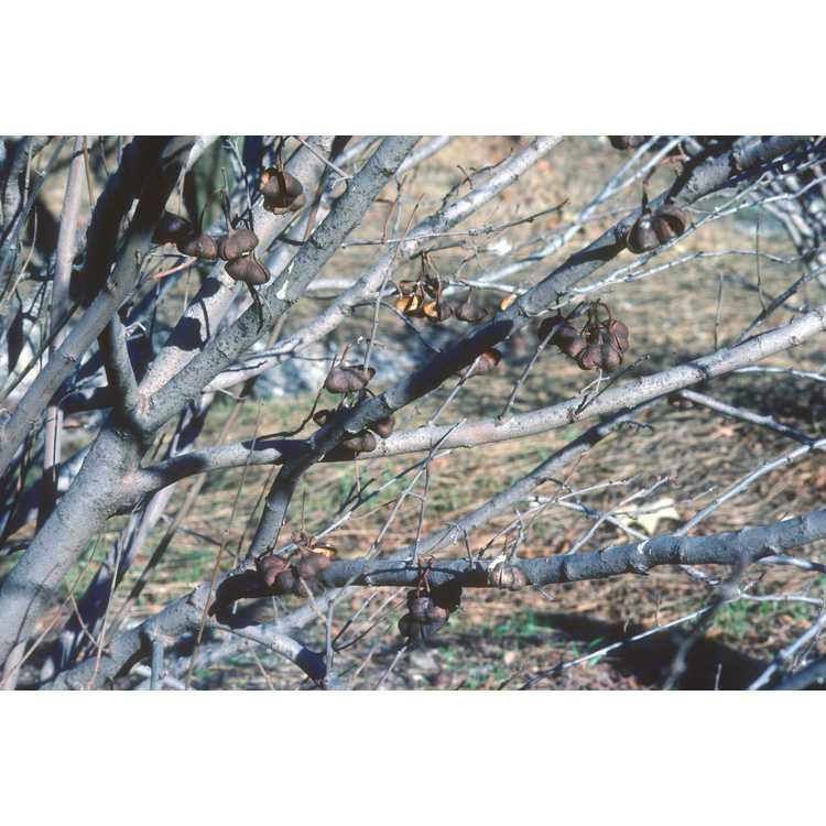 Aesculus pavia var. pavia - red buckeye