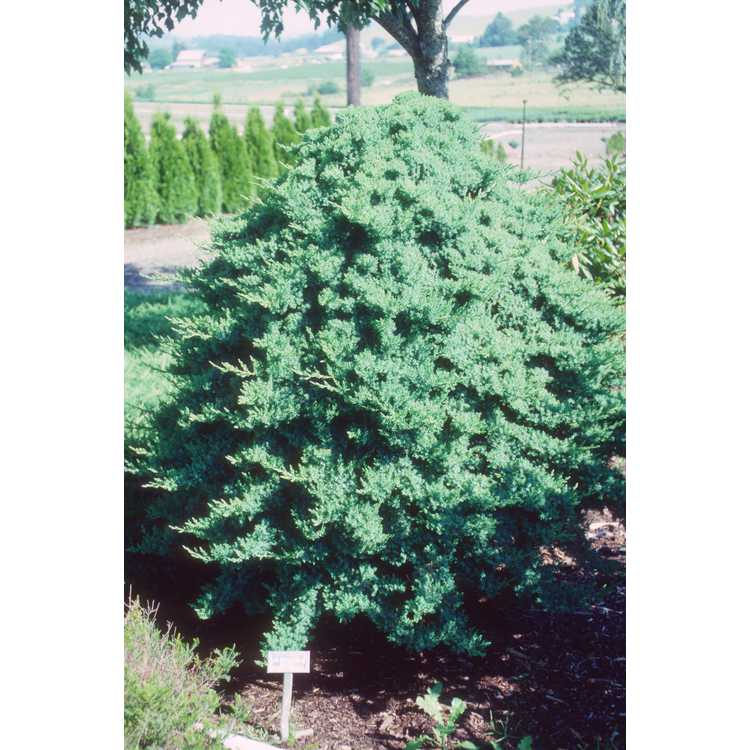 Juniperus procumbens - Japanese garden juniper