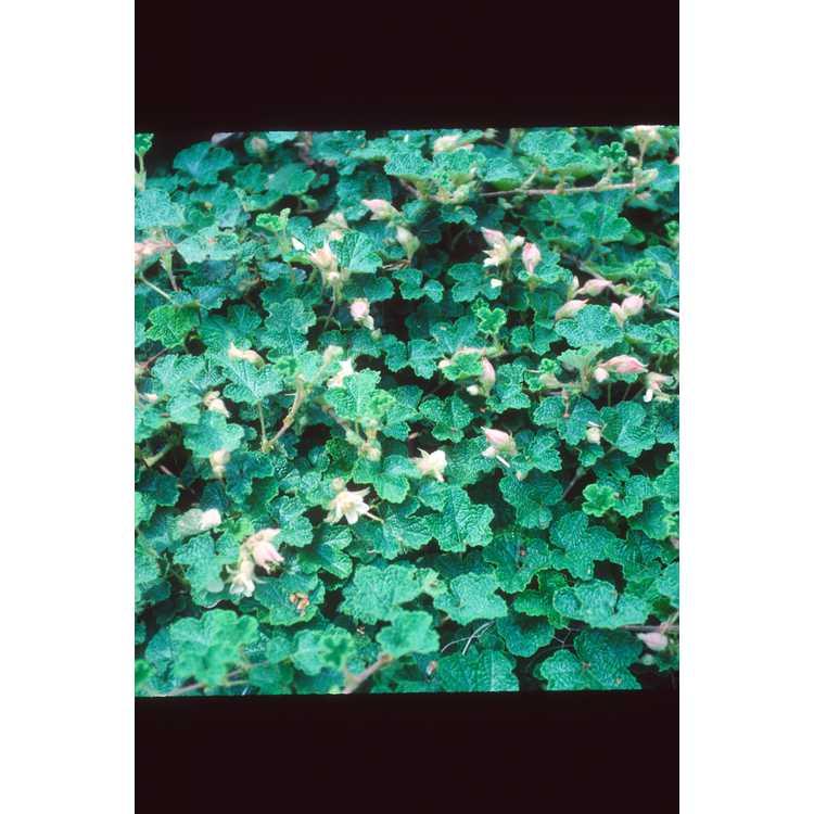 Rubus rolfei 'Emerald Carpet'