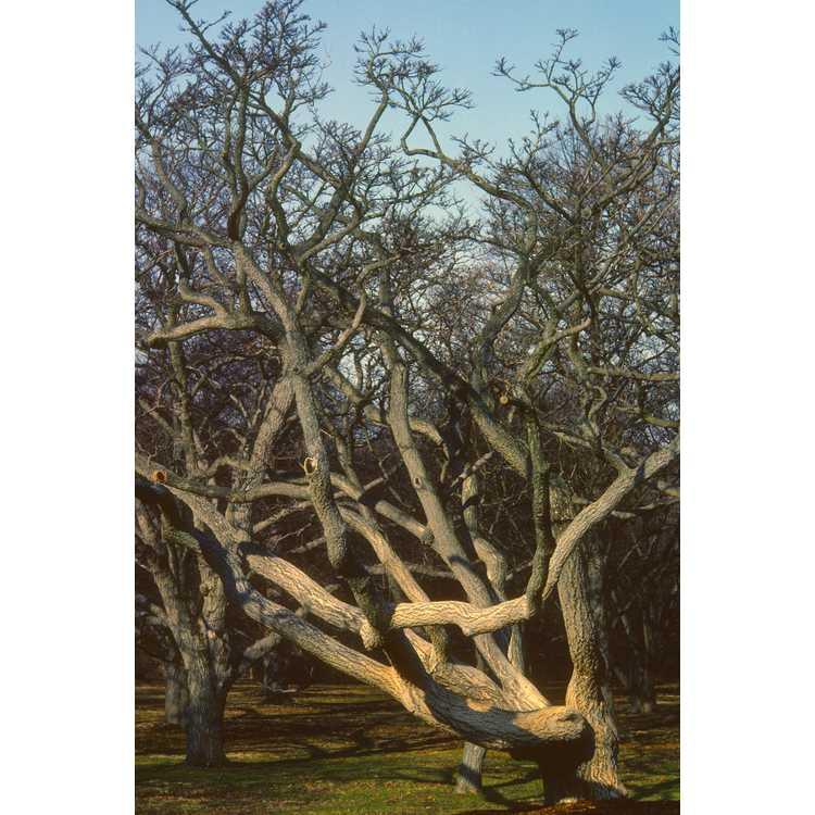 Phellodendron amurense - Amur corktree