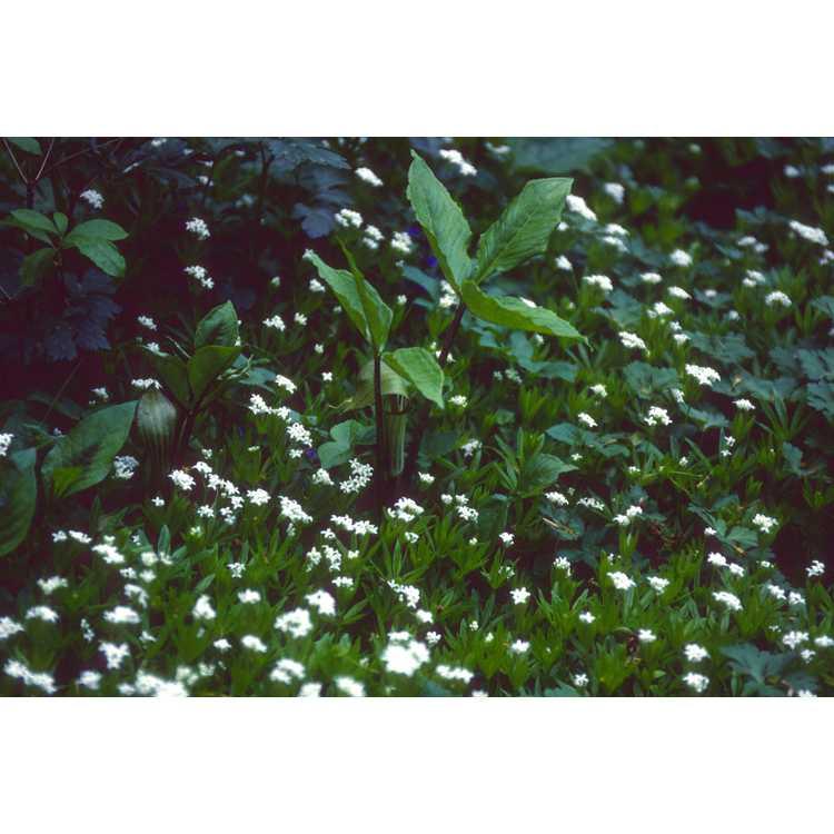 Arisaema triphyllum - Jack-in-the-pulpit