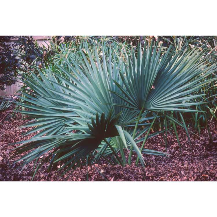Sabal - palm