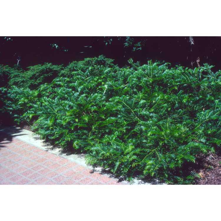 Cephalotaxus harringtonia 'Prostrata' - spreading Japanese plum-yew
